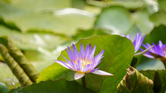 Water lily (ddsnet) Tags: plant flower waterlily sony aquatic  aquaticplants  new nex      new lily water  tetragona mirrorless water   lily nymphaeatetragona    emount nymphaea plants nex5 newemountexperience experience aquatic nymphaea tetragona plantsnymphaea tetragona