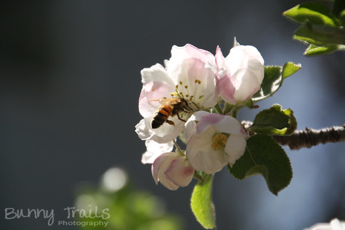 132-apple blossom bee