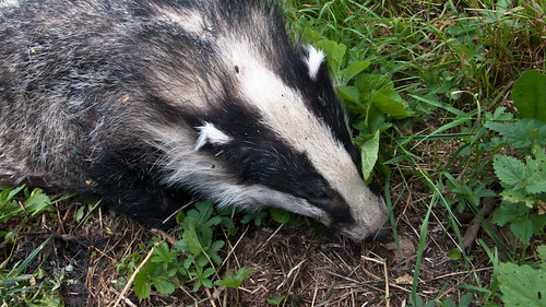 Badger, killed