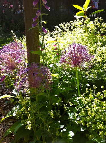 alium in the lady's mantle