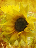 Everyone loves sunflowers ! (sandra.harris10) Tags: magicunicornverybest sbfmasterpiece sbfgrandmaster