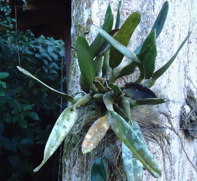 Cattleya mofada