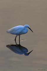 Little Egret (Phil W Walton) Tags: autumn 60d september 150500mm sigma norfolk rspbsnettisham birds littleegret beach canon 2016 lightroom sea