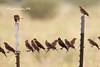 IMG_2182 (caro gmz) Tags: aves pájaros parvada