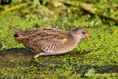 Spotted Crake img4(of 4) (Alan-Bryant) Tags: spottedcrake crake rail rare rarebird bird avian canon 1dmkiv 500 500f4