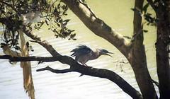 Striated Heron (phillipdumoulin) Tags: parramatta sydney australia nsw westsydney westernsuburbs suburbs bird plastic pollution river heron striatedheron butoridesstriatus mangrove parramattariver water waterpollution litter humanlitter
