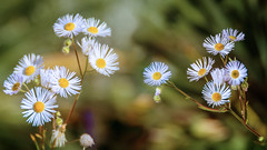 The last such flowers, (augustynbatko) Tags: flowers flower nature macro autumn plant outdoor depth field