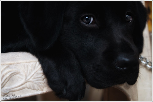 Tammy - black Labrador Retriever pup