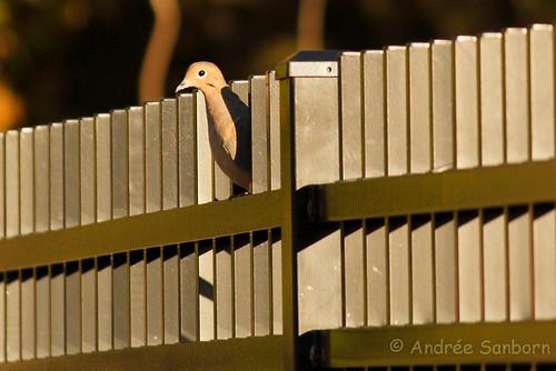Mourning Dove (Zenaida macroura)-2.jpg