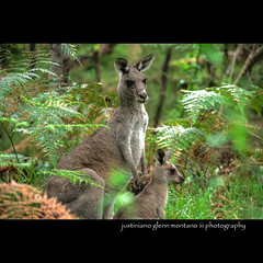 Kangaroo's at Australia's Blue Mountains (j glenn montano 3) Tags: new blue mountains wales south glenn nsw kangaroos hdr montano australias justiniano colorphotoaward thebestofday gnneniyisi