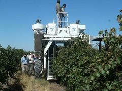 San Juan: La cosecha de uvas blancas de alta gama fue muy productiva