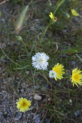 natural grafting of flowers in my yard (Pinks & Needles (used to be Gigi & Big Red)) Tags: flowers yellow mystery daisies landscape spring desert fairy mysterious fairyring
