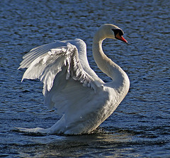 angel (Ronnie jimmy) Tags: lake swans rons 11711