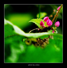 Antigonon leptopus [explored] (e.nhan) Tags: pink flowers light flower art nature closeup landscape colorful colours dof bokeh arts backlighting enhan