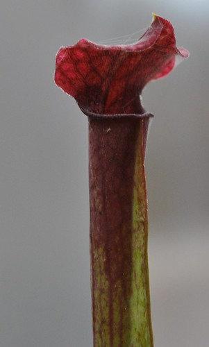 Sarracenia mitchelliana x 'Wilkerson's Red'