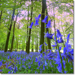 springtime in  Ringshall, Little Gaddesden in Hertfordshire, UK (jjamv) Tags: wood uk flowers blue trees sunset england sky nature windmill bluebells forest landscape spring woods woodlands chilterns nationaltrust beacon bluebell hertfordshire ashridge ivinghoe bluebellwoods pitstone littlegaddesden natureselegantshots 100commentgroup doublyniceshot mygearandme jjamv
