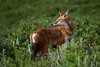 Alert Ethiopian wolf (Solimar International) Tags: community conservation area guassa