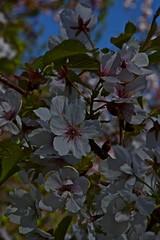 (IanAWood) Tags: kewgardens london spring raw richmond surrey worldheritagesite cherryblossom royalbotanicalgardens d3x nikkor105mmf28gvrmicro walkingwithmynikon