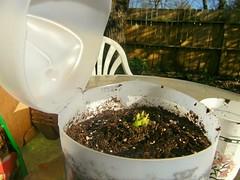 celerysuppliesplanted