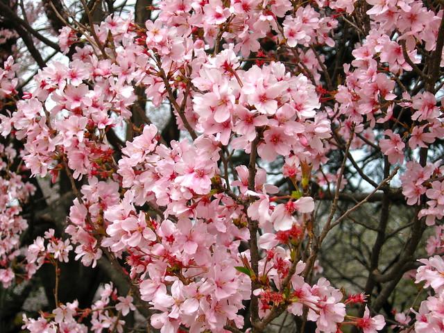 ピンク色の桜のフリー写真素材