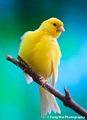 No I Am Not A Chicken (Feng Wei Photography) Tags: china travel wallpaper pet color cute bird nature beautiful beauty animal yellow zoo golden colorful asia shanghai wildlife wing feather adorable 中国 上海 serin shanghaizoo serinusserinus 芙蓉 上海动物园 金丝雀 100commentgroup gettyimageschinaq3