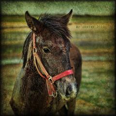 Little Big Horse (osolev) Tags: espaa horse texture textura field photoshop caballo cheval spain europa europe country guadalajara ps campo textured champ lamancha castilla potro castillalamancha theworldwelivein cabalo villaseca cs5 osolev villasecadeuceda