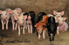 Nine Little Piggies (SewerDoc (200 Explores)) Tags: china cute animals liriver pig asia babies guilin farm young litter pigs piglet hog mammals boar sow piglets hogs yangshou piggies guanxi sewerdoc jaredfein mygearandme