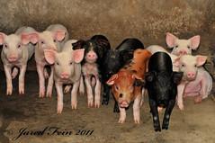 Nine Little Piggies (SewerDoc (2 million views)) Tags: china cute animals liriver pig asia babies guilin farm young litter pigs piglet hog mammals boar sow piglets hogs yangshou piggies guanxi sewerdoc jaredfein mygearandme