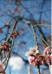 shidare-sakura (WataruKagaya) Tags: pink blue sky film japan cherry tokyo march spring blossom olympus sakura weeping om20 kourakuen