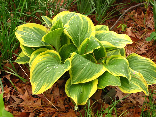 hosta 'Forest Fire'