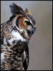 Great Horned Owl portrait 4 (Jen St. Louis) Tags: portrait ontario canada birds mountsberg captive owls greathornedowl nikkor300mmf4 nikond90 mountsbergraptorcentre jenstlouis jenstlouisphotography wwwjenstlouisphotographycom jenstlouisphotographycom
