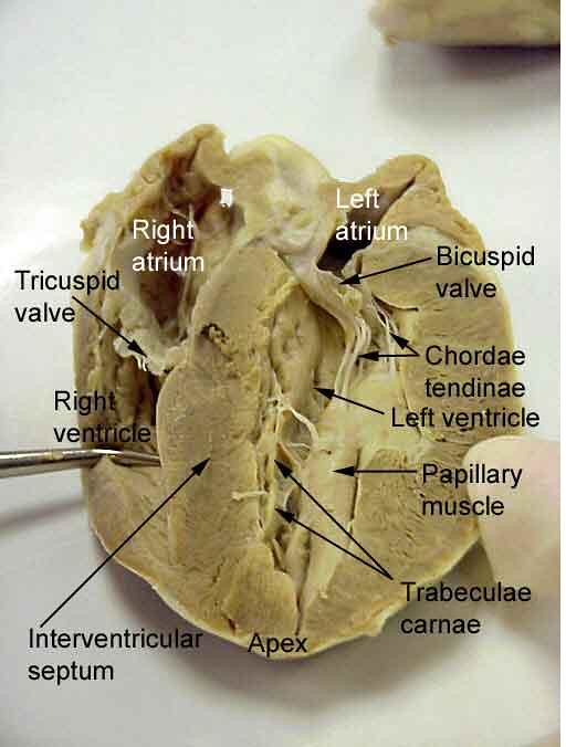 Dissected Sheep Heart