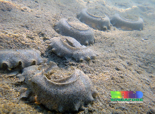 Oil-slicked Tanah Merah: Sand collars of moon snails