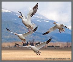 Snow Geese take flight in the Creston Valley (kootenaynaturephotos.com) Tags: birds geese bc creston snowgeese chencaerulescens mygearandme mygearandmepremium mygearandmebronze mygearandmesilver mygearandmegold mygearandmeplatinum mygearandmediamond ringexcellence mothernaturesgreenearth~frontpagefeaturedphotographerhalloffame featuredonthetyeehomepagejune14