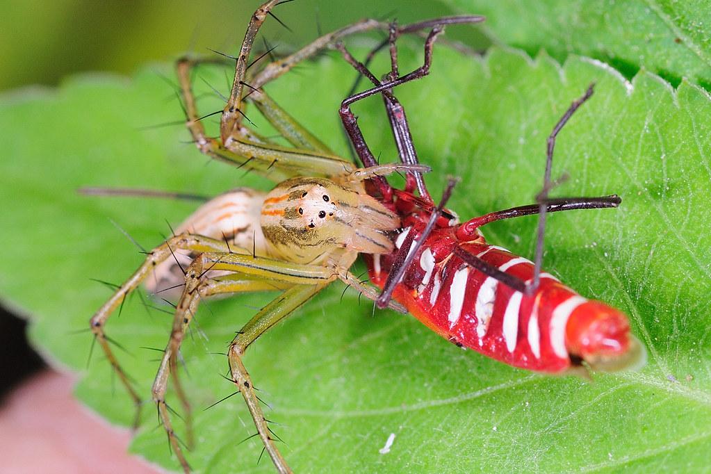 細紋貓蛛捕食赤星椿象
