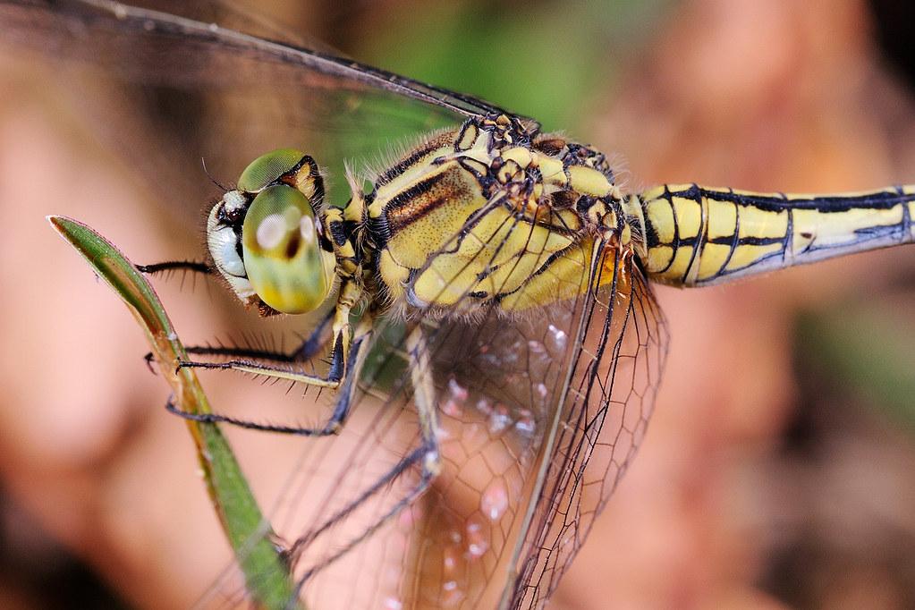 杜松蜻蜓  Orthetrum sabina sabina