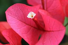 ブーゲンビリアの花(白いところ) ClubMed Kabira Press Tour
