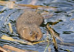 Water vole (William Richardson) Tags: watervole londonwildlife ukwildlife fantasticnature