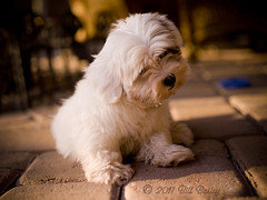 Bindi - guilty or not (Nodal Ninja) Tags: dog cute puppy 645 pentax 55mm medium format playful guilty havanese 645d