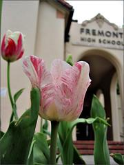 Light pink variegated tulip at FHS