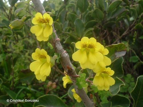 Detalle de las flores de malla <i>Tropaeolum brachyceras</i> con sus pétalos amarillos con puntos púrpura a lo largo de sus venas, fotografía tomada en Los Molles, región de Valparaíso.