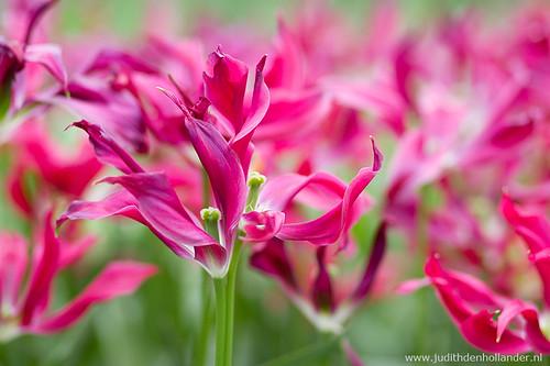 Tulips_MG_6215