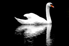cygne blanc by D.F.N. ('^_^ Damail Nobre ^_^') Tags: france art love canon word french fun photography photo reflex europe photographie picture 7d franais francais photographe dfn damail wwwdamailfr