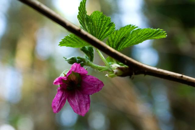 salmonberry_flower