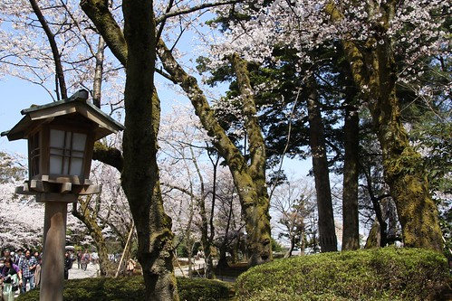 苔むす桜の樹