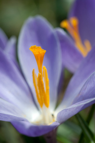 Spring crocus by The Shutterbug Eye™