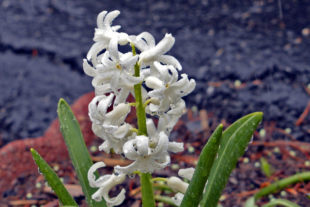 white flowers rain