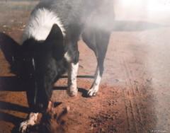 (hurraybee) Tags: california ca light dog playing film animal outside outdoors kodak lightleak 828 lightleaks gus centralcoast leaks bantam