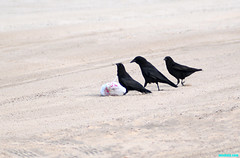 TwoFriendsStopBy (mcshots) Tags: california usa bird beach birds trash neck coast losangeles stock flight strangle socal plasticbag crow mcshots twisted