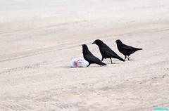TwoFriendsStopBy (mcshots) Tags: california usa bird beach birds trash neck coast losangeles stock flight strangle socal plasticbag crow mcshots twisted